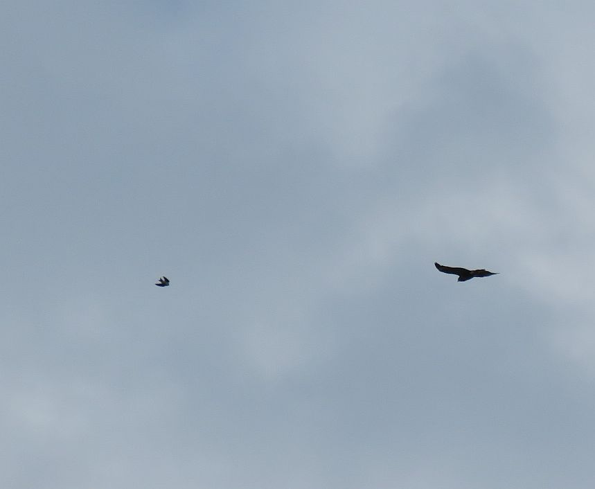 Buzzard & House Martin