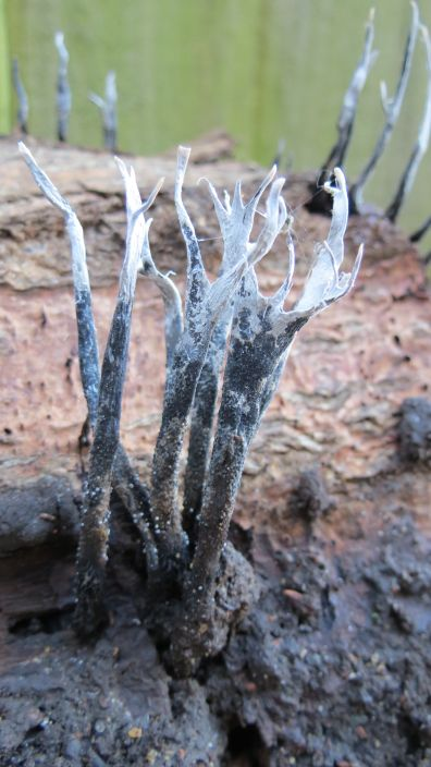 Candle Snuff Fungus