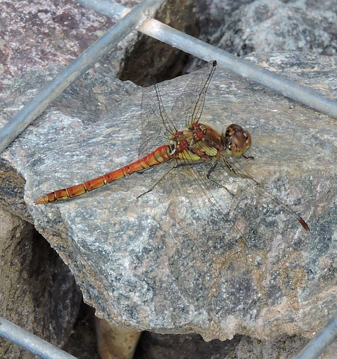 Common Darter title=