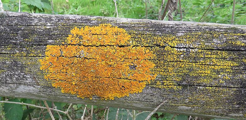 Common Orange Lichen