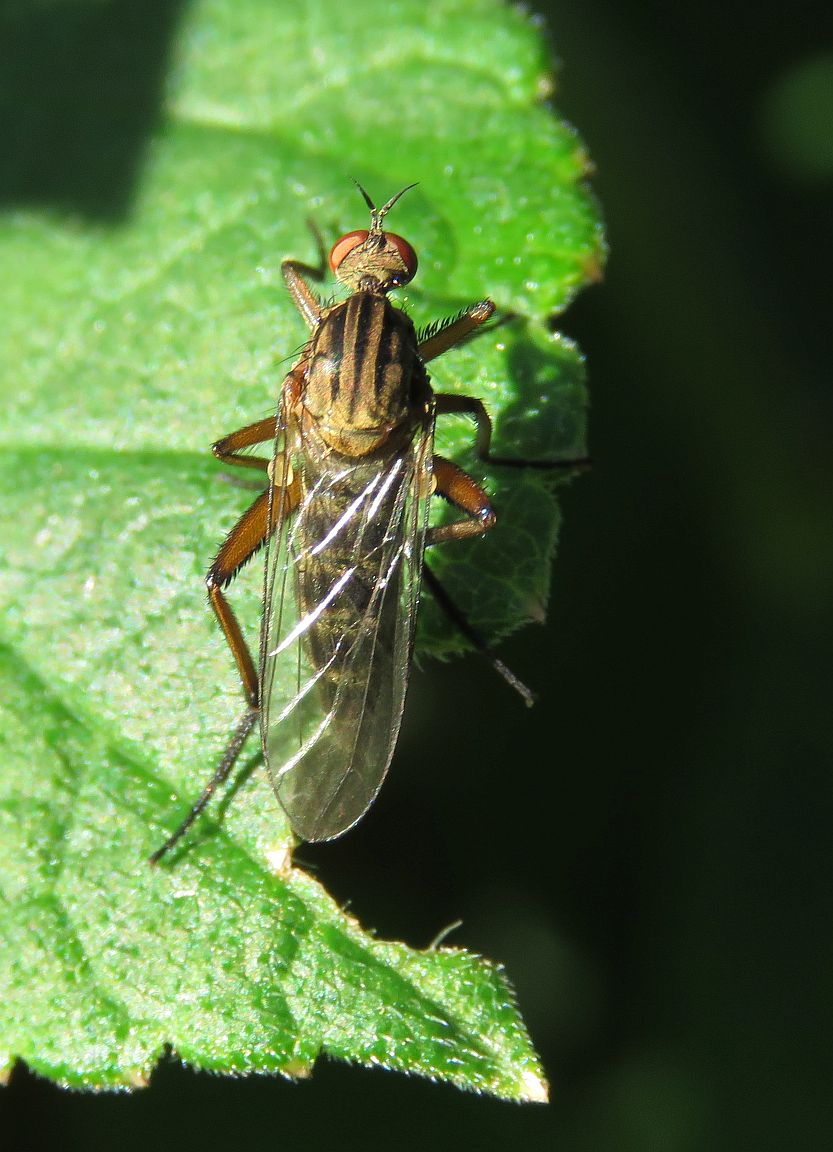 Empis livida(female)