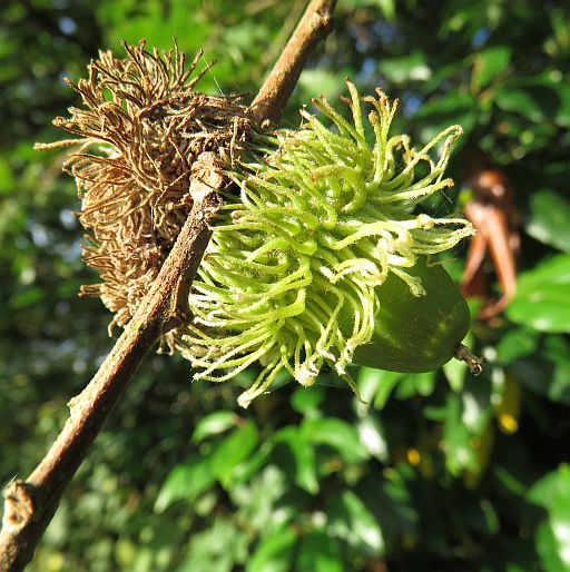 Hedgehog Gall