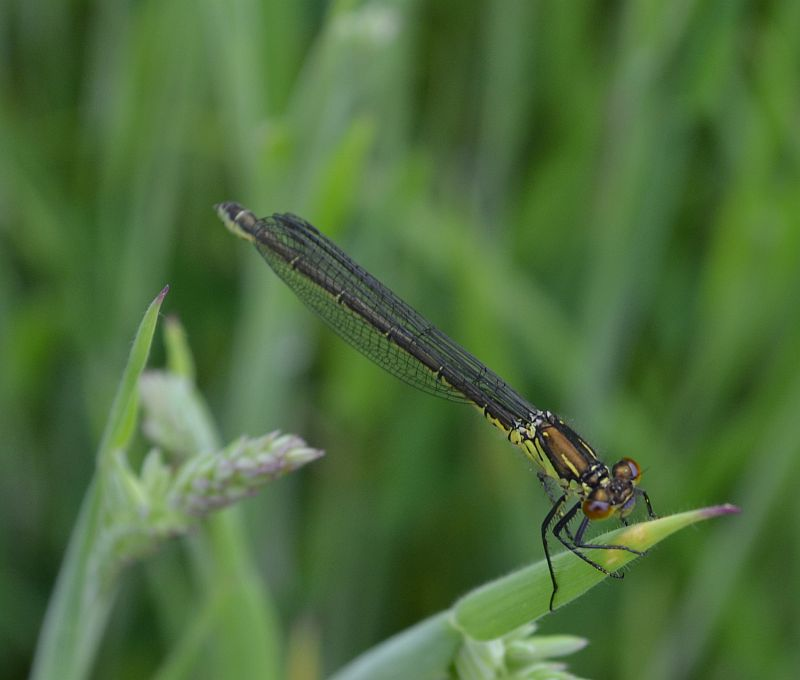 Immature Red-eyed Damselfly