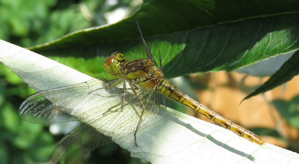 Immature female Common Darter