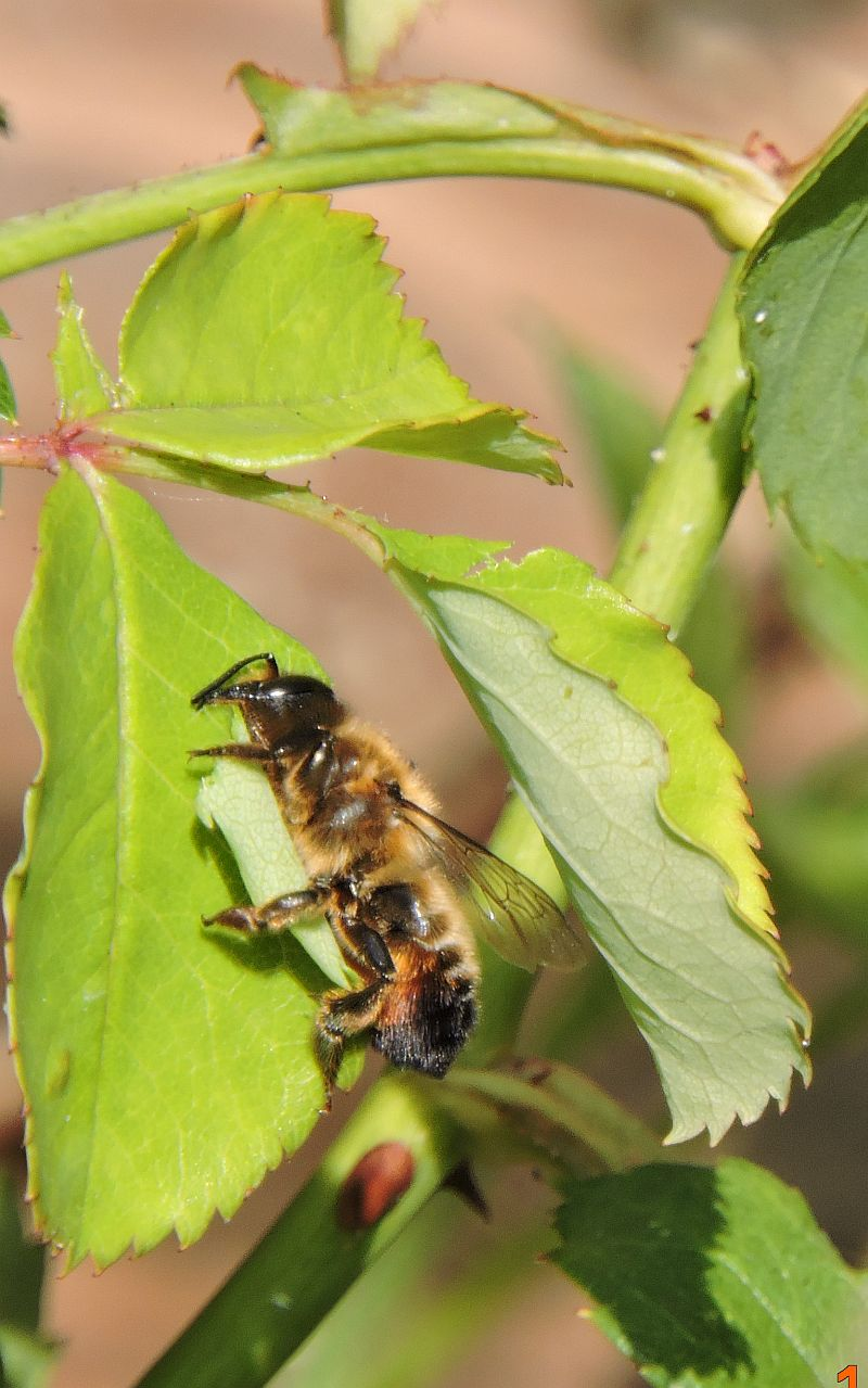 Leaf Cutter Bee