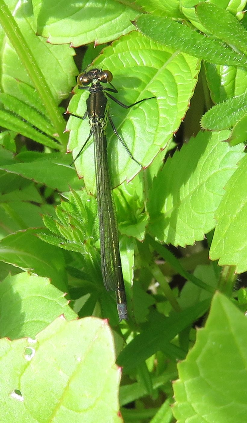 Red Eyed Damselfly(Male)