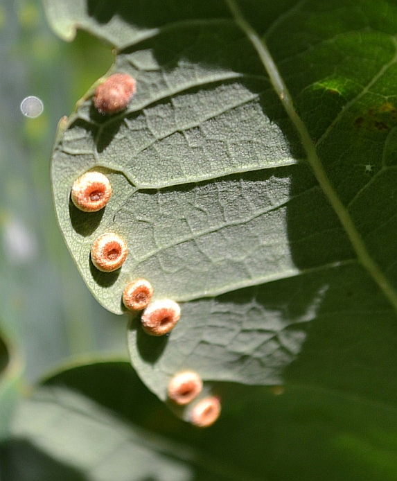 Silk-button Gall