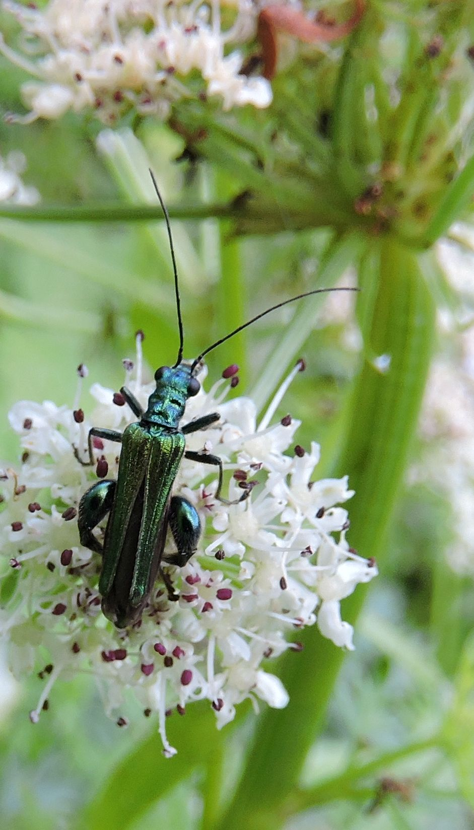 Swollen thighed Flower Beetle