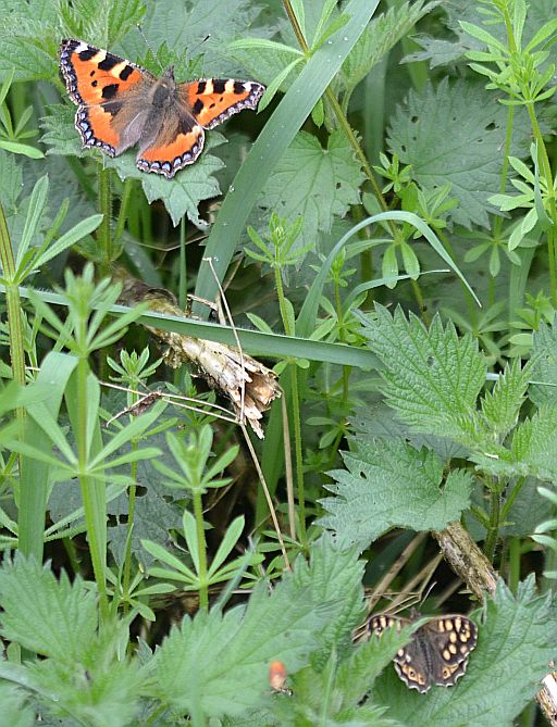 Small Tortoiseshell and Speckled Wood