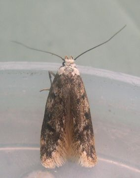 White shouldered House Moth