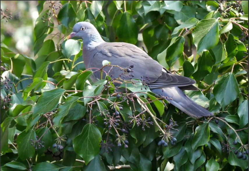 Wood Pigeon on Ivy